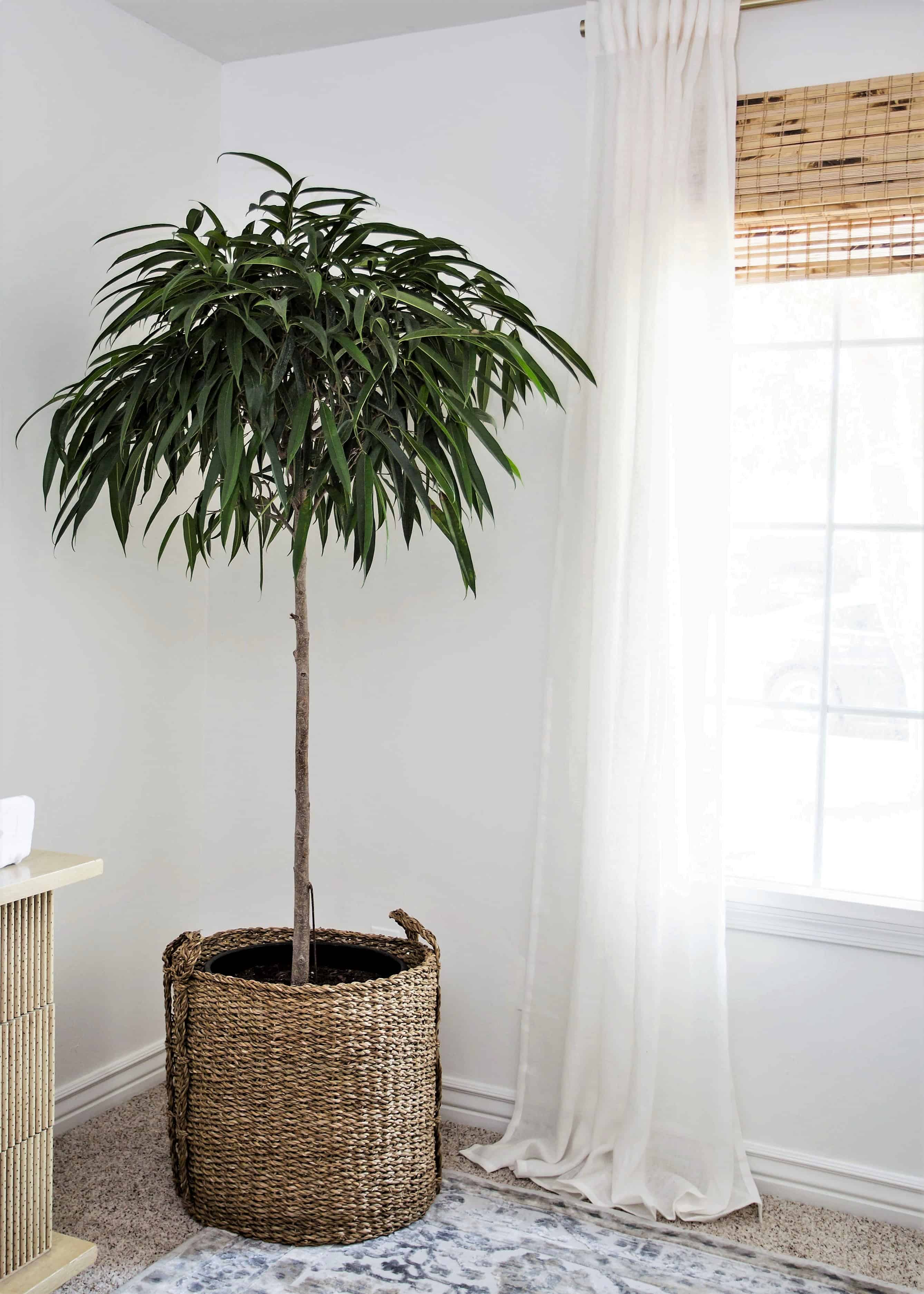 tall green tree in a basket to the left of a window with bamboo shades and white sheer curtains