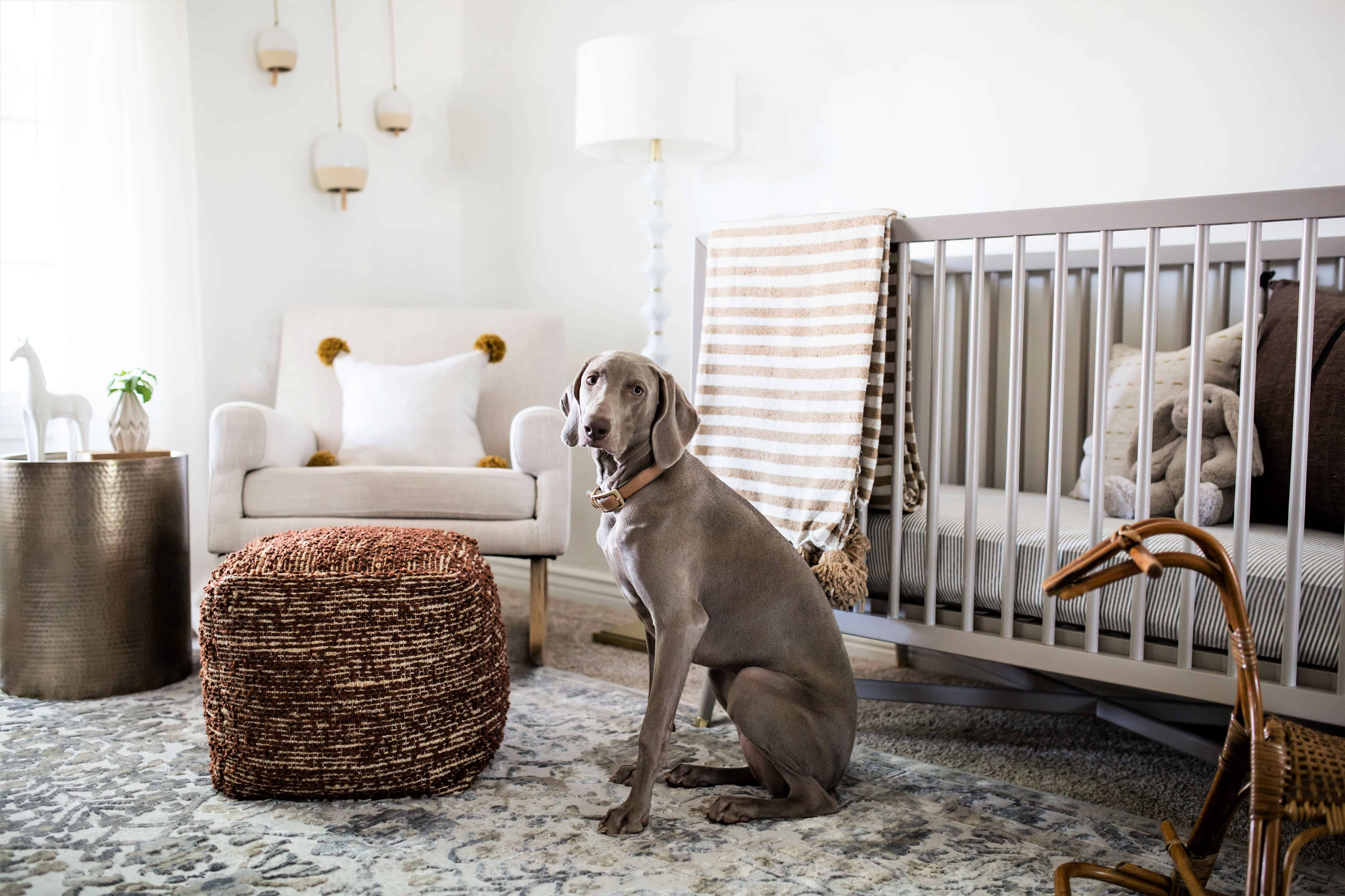 Gray Weimaraner sitting in front of gray crib with yellow striped blanket in minimal nursery designed with heart.