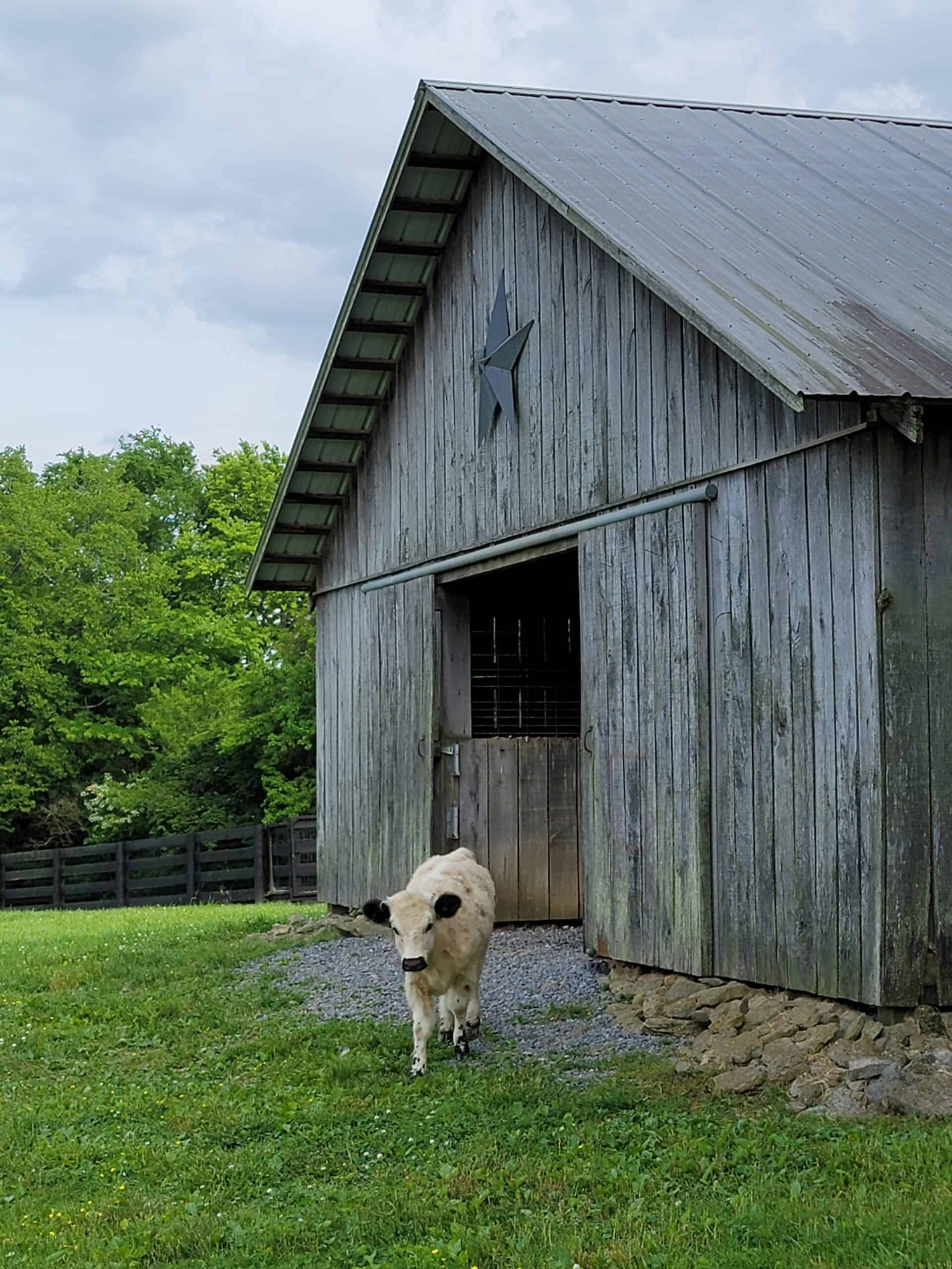 mini cow coming out of a barn